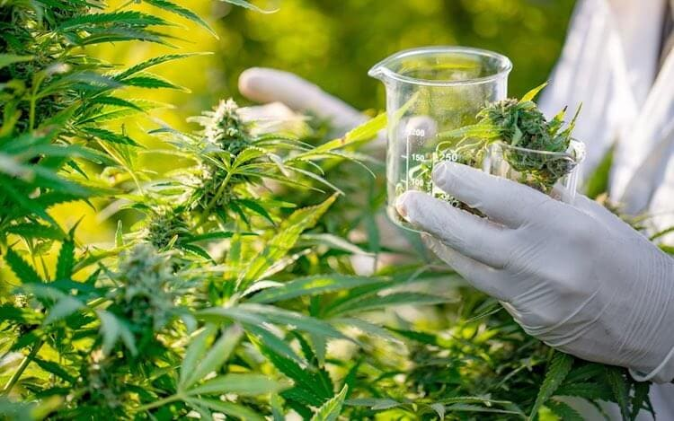 medical cannabis in uk