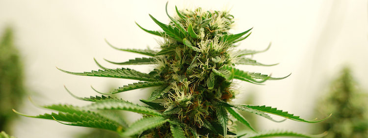 The Amnesia Haze is a cannabis plant (and marijuana light)