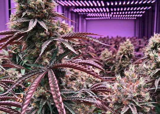 Purple marijuana cultivar