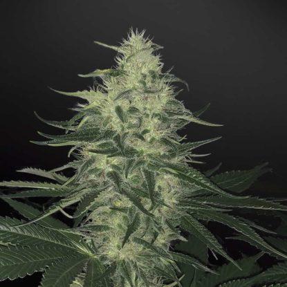 godzilla-glue-autoflower-seeds-uk