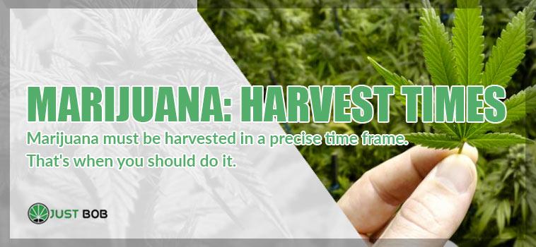 when harvest marijuana light CBD