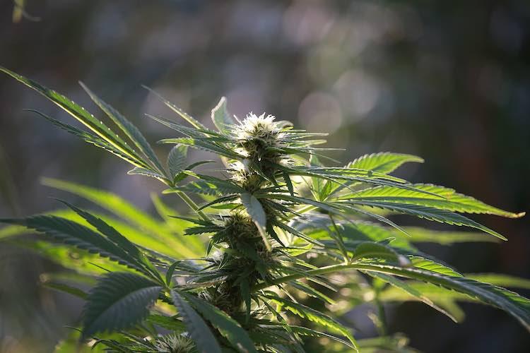 marijuana type
