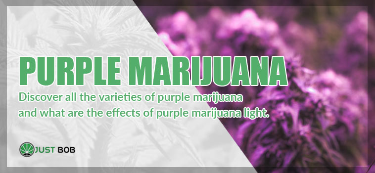 the purple marijuana light CBD