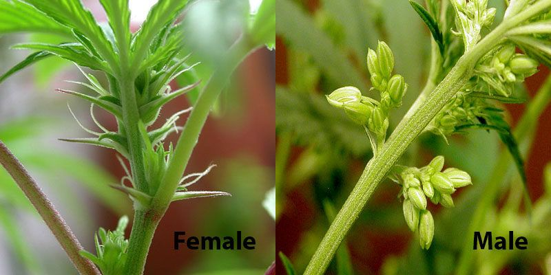 find marijuana male or female sex