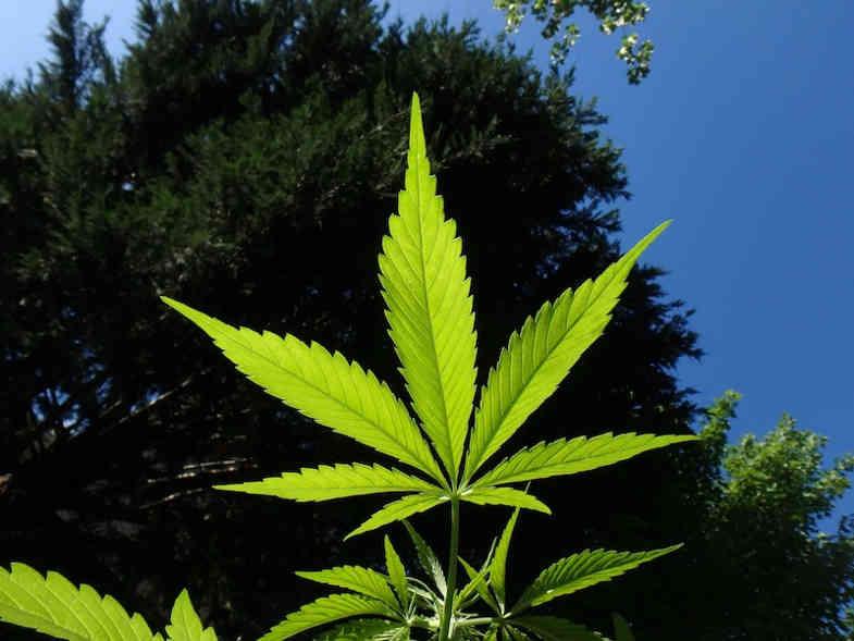 light marijuana flower