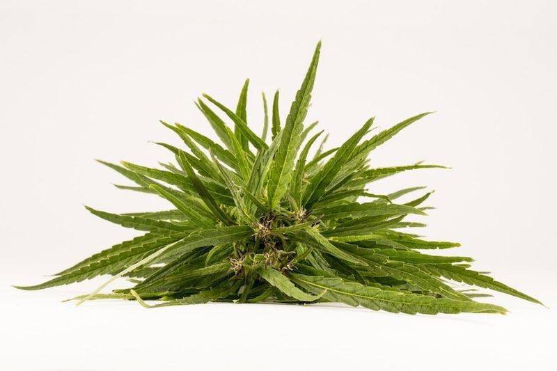 marijuana silver haze hemp
