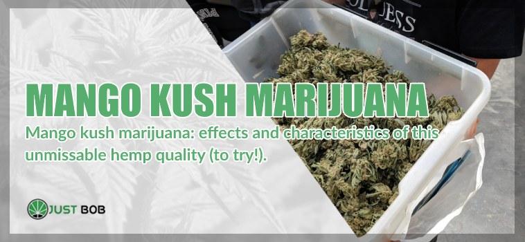 Mango Kush: characteristics of this CBD Bud