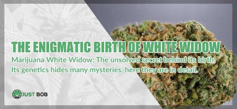 White Widow: the best cbd weed