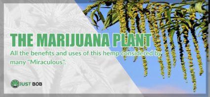 The marijuana cbd plant