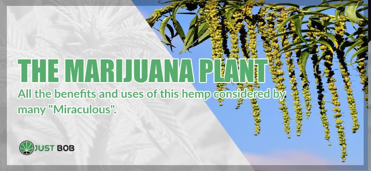 The marijuana cbd plant