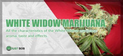 White widow legal marijuana