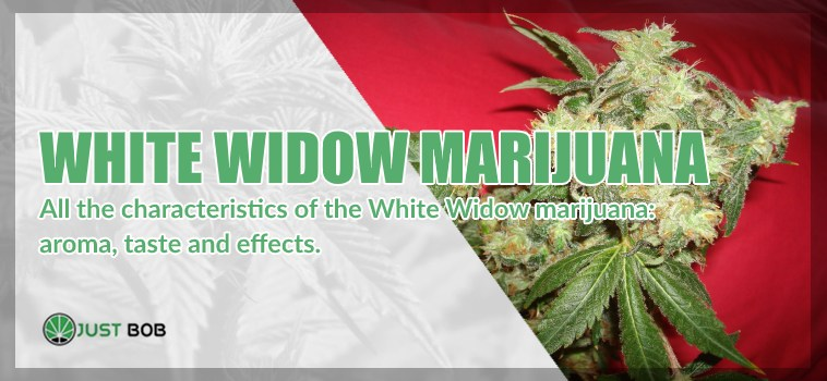 White widow legal marijuana