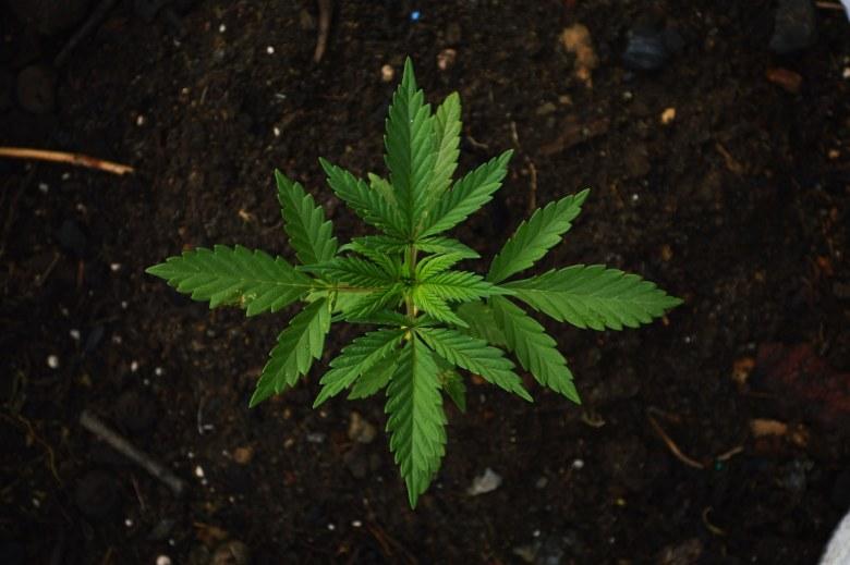 differences between hemp and marijuana cbd