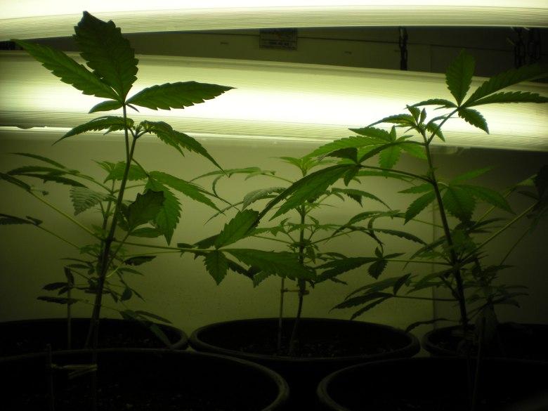 indoor cultivation of cannabis cbd