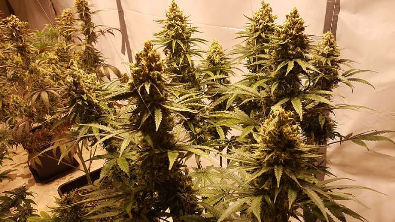 legal cultivation CBD weed in italy
