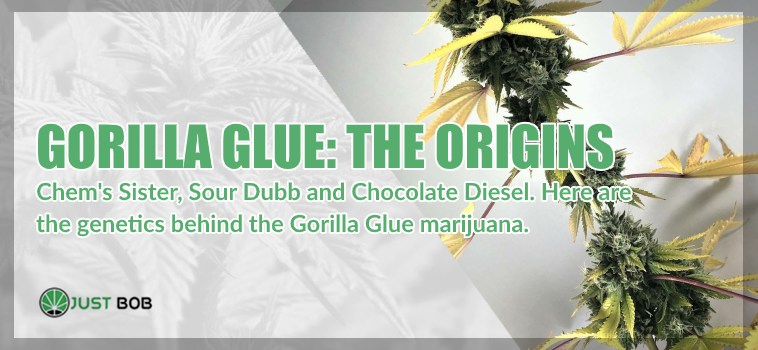 the origins of gorilla glue legal marijuana