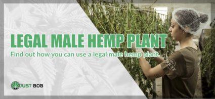uses of Legal male hemp plant