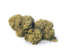mango haze cannabis