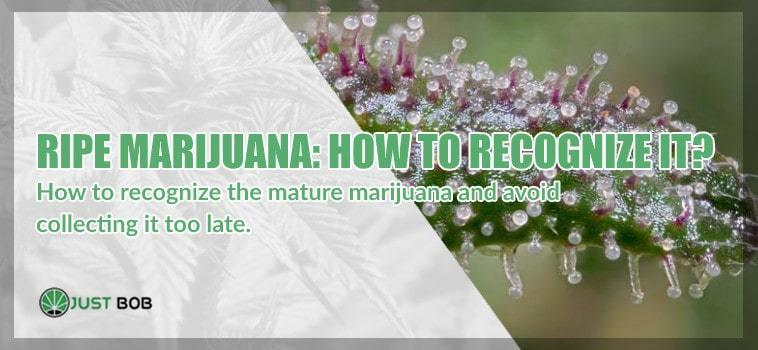 ripe marijuana cbd