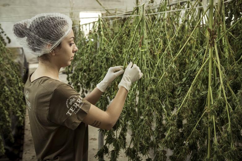 economic impact of cbd cannabis