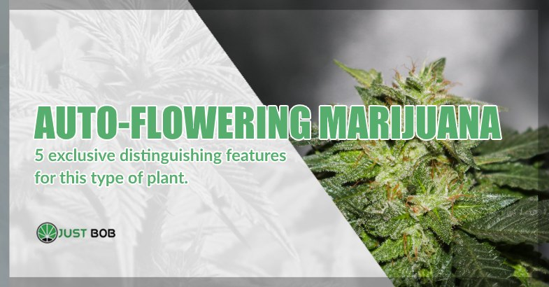 Auto flowering cbd marijuana