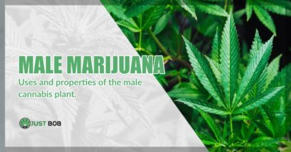 cbd cannabis male plant