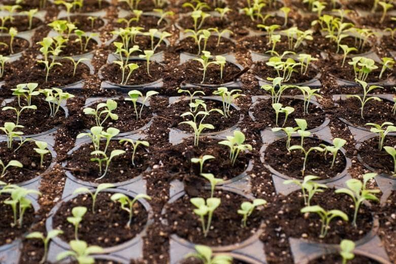 cbd cannabis plant male or female