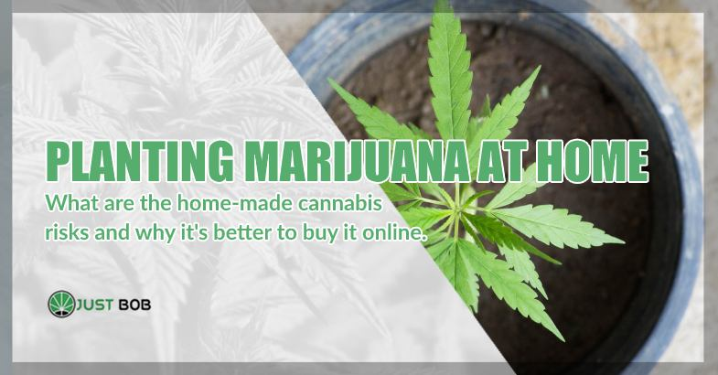 Planting marijuana at home what are the risks