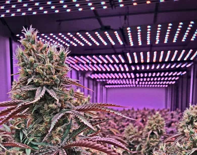 indoor CBD weed colours