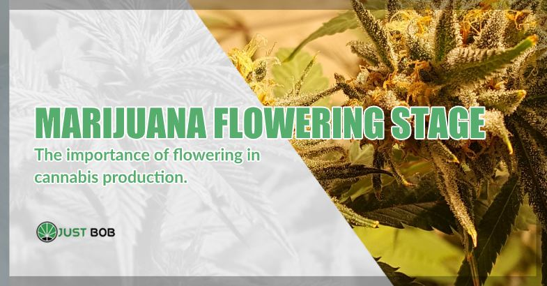 the importance of flowering marijuana phase