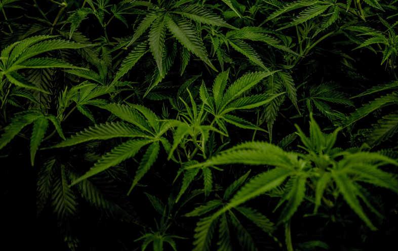marijuana CBD leaves