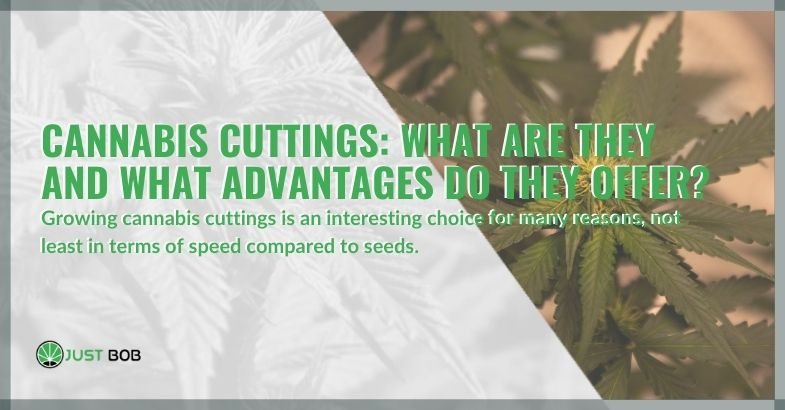 Cannabis cuttings: What are they and what advantages do they offer?