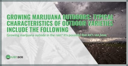 Growing marijuana outdoors: Typical characteristics of outdoor varieties include the following