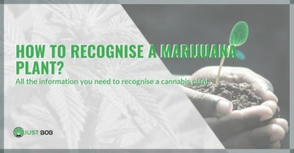 How to recognise a marijuana plant?