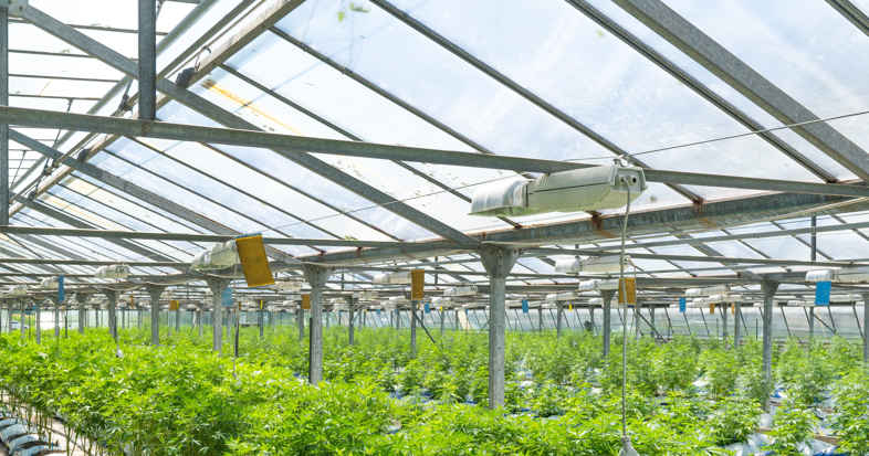 Greenhouse with led for Cannabis CBD cultivation