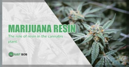 role of marijuana resin in the cannabis plant