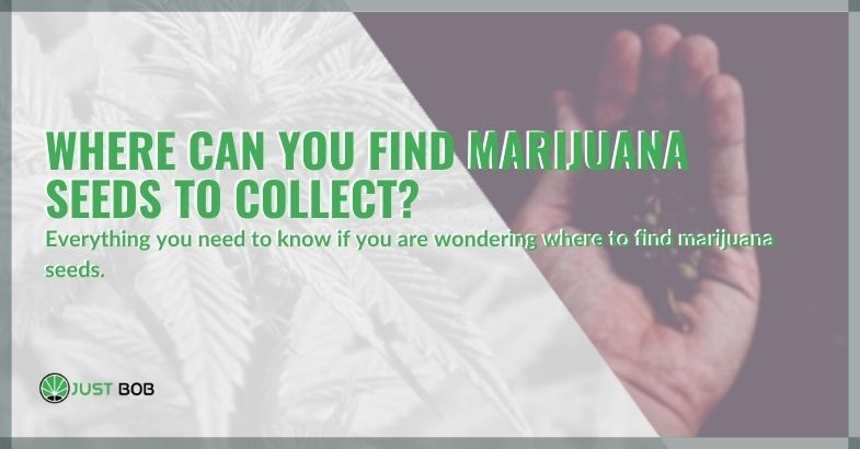 Where can you find marijuana seeds to collect?
