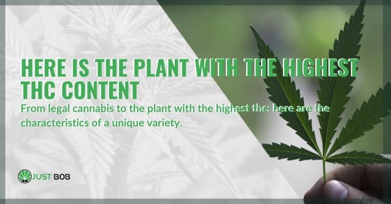 The secret of the plant with the highest THC level