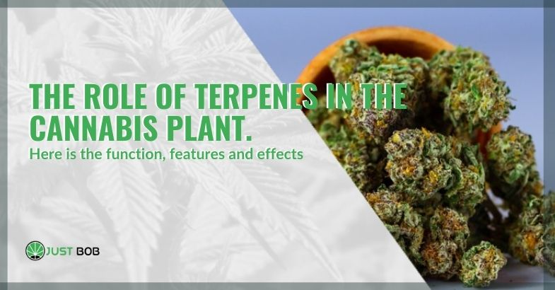 The role that terpenes play in the cannabis plant