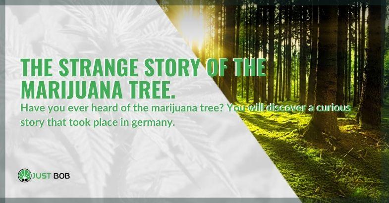 Here is the strange story of the marijuana tree