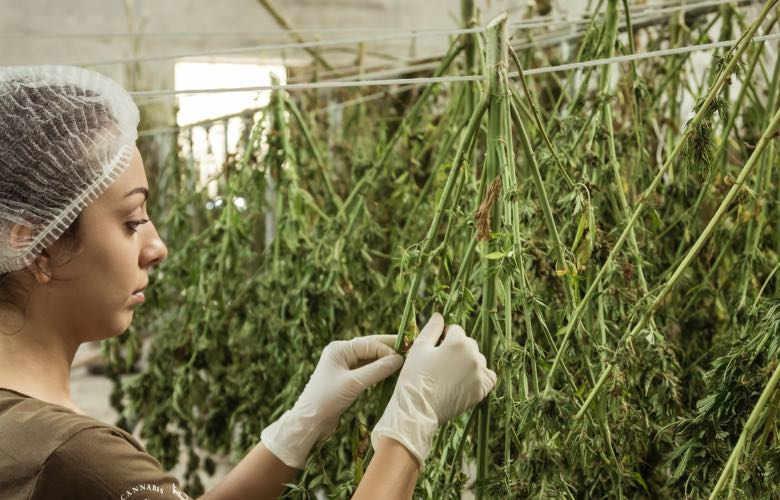 harvesting and tanning of light cannabis zkittles CBG