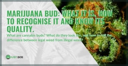 What is the marijuana bud and how to recognize quality