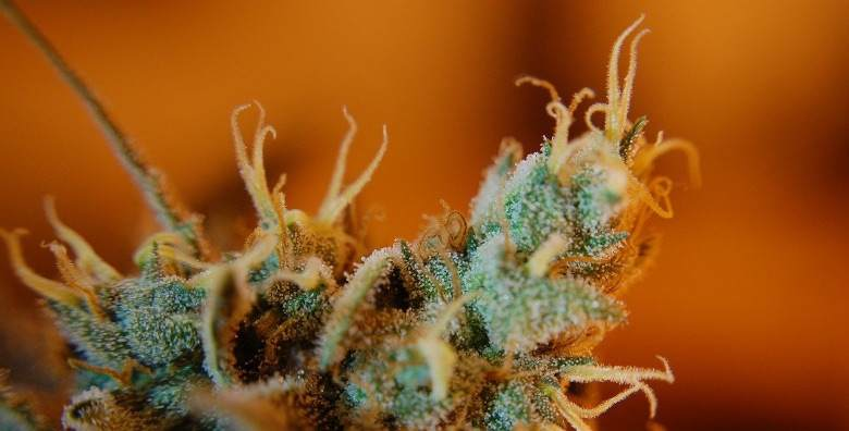 Light cannabis flower with ripe trichomes