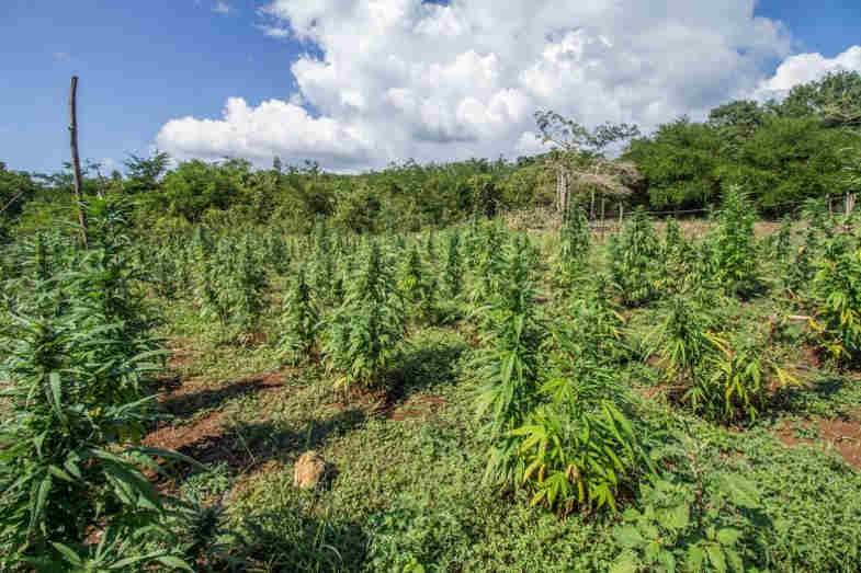 cbd marijuana as a rotational crop