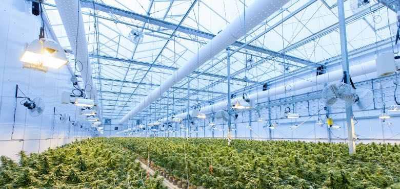 California Skunk cbd cultivation in glasshouse