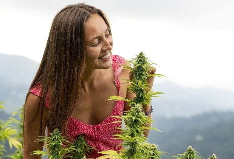 A good cannabis aroma in the plantation
