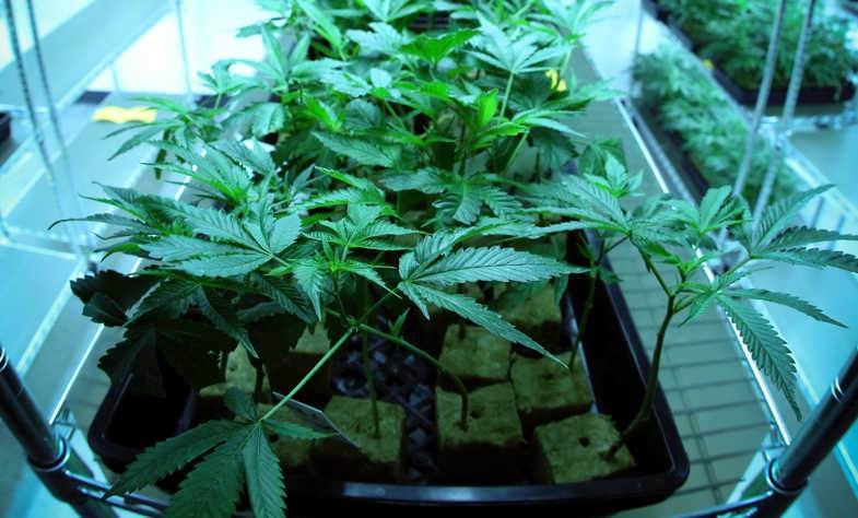 Cannabis light has advantages with aeroponic cultivation