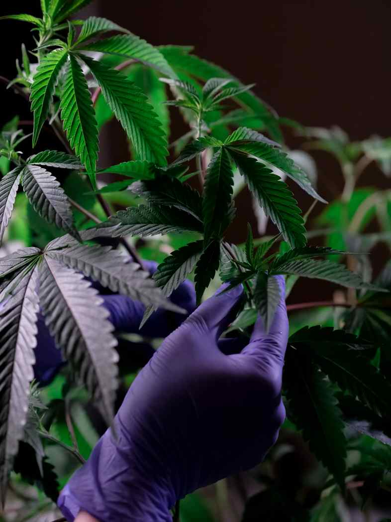 The extraction of cannabidiol from the cannabis plant