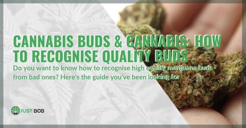 Find out how you can recognize quality cannabis buds.