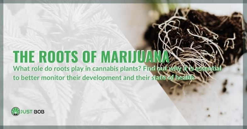 Everything you need to know about the roots of marijuana